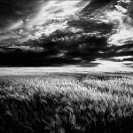 Kapi – Žito je preklasalo